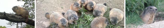 bandeau-marmotte